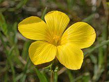Linum campanulatum - Wikipedia