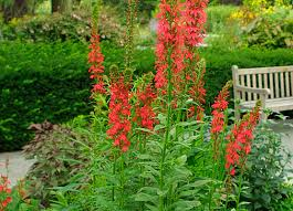 Image result for cardinal flower