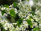 Images & Illustrations of common bird cherry