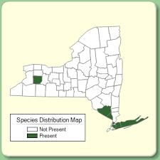 Cytisus scoparius - Species Page - NYFA: New York Flora Atlas