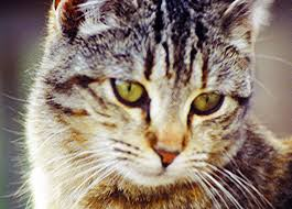 Where Can I Find Hypoallergenic Cats?