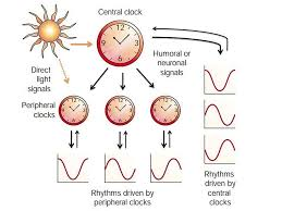 Analysis of second messengers in peripheral and central circadian ...