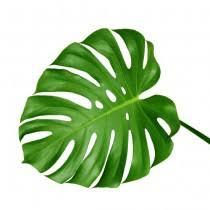 <b>Monstera</b> - <b>Leaves</b> - Florida Coconuts - Store