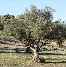תוצאת תמונה עבור עץ זית