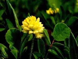 Trifolium dubium - Michigan Flora