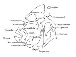 figure   schematic diagram of fish head showing skeletal elements    figure   schematic diagram of fish head showing skeletal elements isolated and labelled for the tarl collection  after mumford in colley