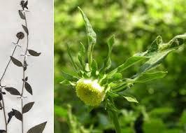 Carpesium cernuum L. - Sistema informativo sulla flora vascolare ...