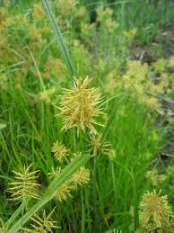 Cyperus esculentus - Michigan Flora