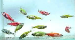 Image result for Transgenic Zebrafish