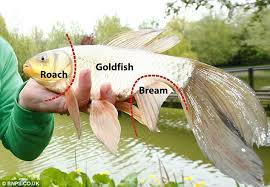 Fisherman goes angling for <b>carp</b>... and discovers <b>fish</b> with the body ...