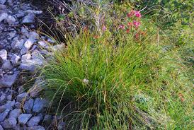 Carex ferruginea Scop.
