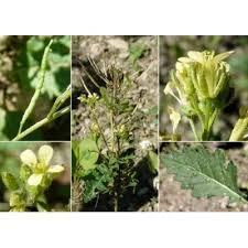 Genere Erucastrum - Flora Italiana