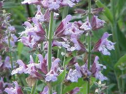 Salvia officinalis - Wikipedia