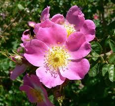 <b>Rose</b> - Wikipedia