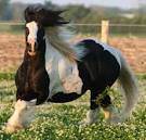 stud-horse