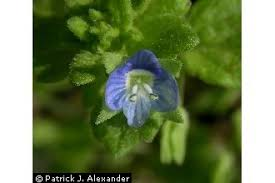 Plants Profile for Veronica arvensis (corn speedwell)