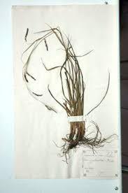 Erbario Ariosto - Carex sylvatica Hudson