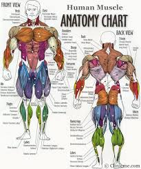 muscle diagram the muscular system micro and macro anatomy        muscle diagram tag human body muscle structure diagram human anatomy diagram