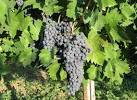 Images & Illustrations of common grape vine