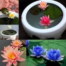 <b>10pcs</b>/<b>pack Bowl Lotus</b> Seed <b>Hydroponic</b> Plants Aquatic Plants ...
