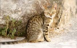 Bildergebnis für gestreifte katzen