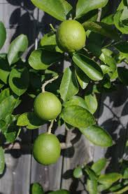 key lime tree quot pot fruiting