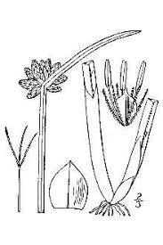 Plants Profile for Schoenoplectiella mucronata (bog bulrush)