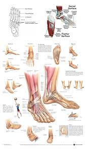 s of the foot diagram   litz  ddnscom s of the foot diagram keyword images