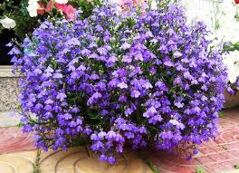<b>Лобелия</b>: виды и сорта   Цветок в доме