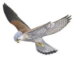 Znalezione obrazy dla zapytania sokół ptak