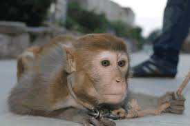 Image result for chained monkey