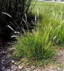 Sesleria autumnalis at San Marcos Growers