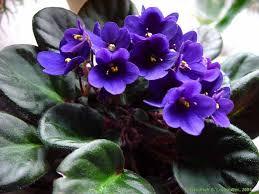 Risultati immagini per violette africane