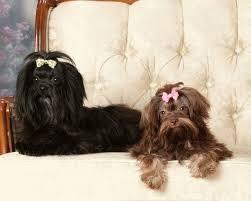 Русская цветная <b>болонка</b>: фото собаки, описание породы, цена ...