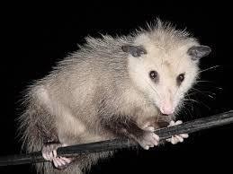 Kevin <b>Possum Judas</b> Mccafferty - Home | Facebook