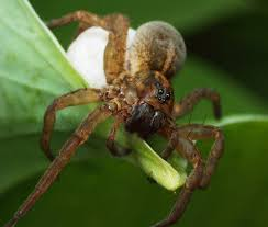 How to Get rid of Wolf Spiders? Proven Methods, Tricks and Tips ...