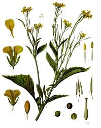 Brassica juncea - Wikipedia