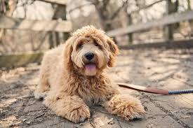 13 <b>Curly</b>-Haired <b>Dog</b> Breeds