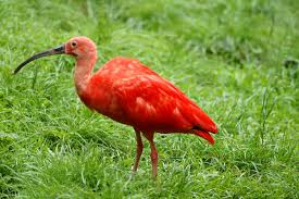 the scarlet ibis symbolism and theme review writework a scarlet ibis at pairi daiza brugelette
