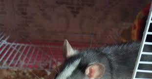 Как меняется цвет у крысиного <b>хаски</b> | Пикабу