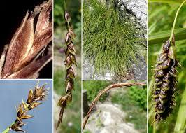 Carex ferruginea Scop. - Sistema informativo sulla flora delle Alpi ...