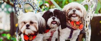 The <b>9</b> Best <b>Dog</b> Foods For Shih Tzus [ 2020 Reviews ]