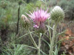 Ptilostemon chamaepeuce (L.) Less.   Flora of Israel Online