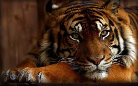 Image result for tiger animal pictures