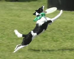 Dog Frisbee...