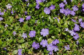 Vinca Minor (Periwinkle) Plant Profile