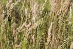 Images & Illustrations of broom grass
