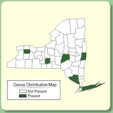 Scilla - New York Flora Atlas - University of South Florida