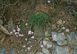 Armeria sardoa subsp. genargentea, flora di Sardegna