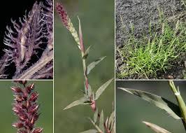 Tragus racemosus (L.) All. - Portale sulla flora del basso corso del ...